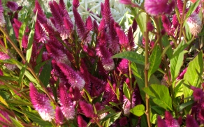 The celosia was especially bright.