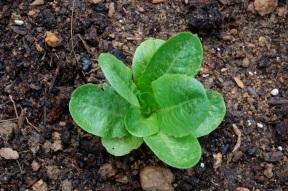 """Winter Density Bibb"" Lettuce."