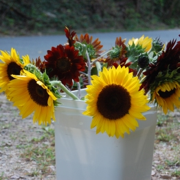 Sunflowers ready for delivery to King's Red & White Market in Durham.