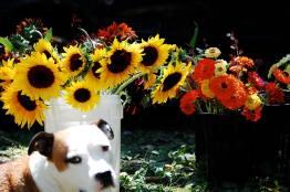 Sunflowers, Zinnias, and Mr. Bingley.