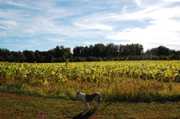 Mr. Bingley checking out his new farm when we visited in the summer. The tobacco has since been harvested.
