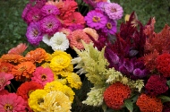 Colorful zinnias and celosia.