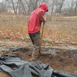 Digging up peonies in the rain.