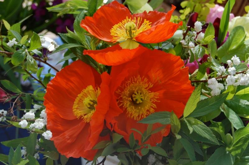 Spring Forth Farm poppies.