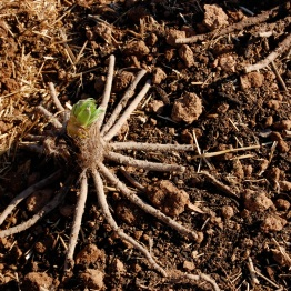 The eremurus has really unusual, spidery roots.