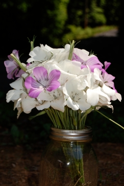 "Agrostemma ""ocean pearl"" produces a beautiful combination of white and rose flowers."
