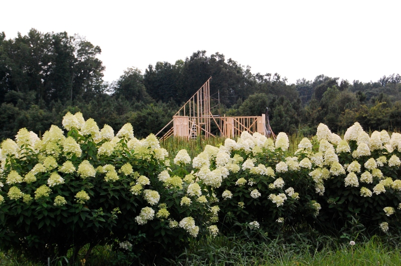 House framing and hydrangeas, August 2014.