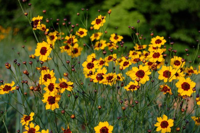 Wild plains coreopsis in bloom, May 2014.