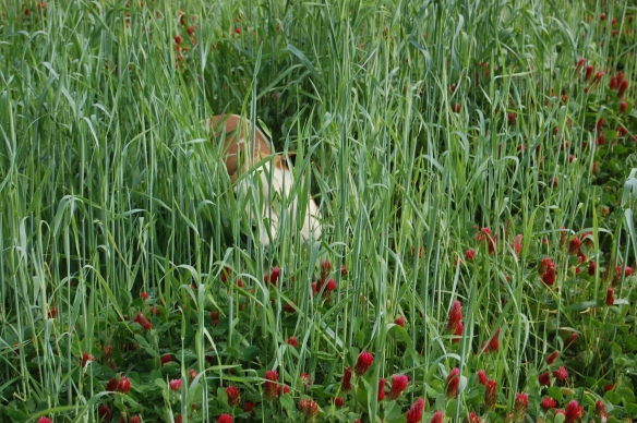 Mr. Bingley, fearsome hunter, enjoying a wallow in the crimson clover.