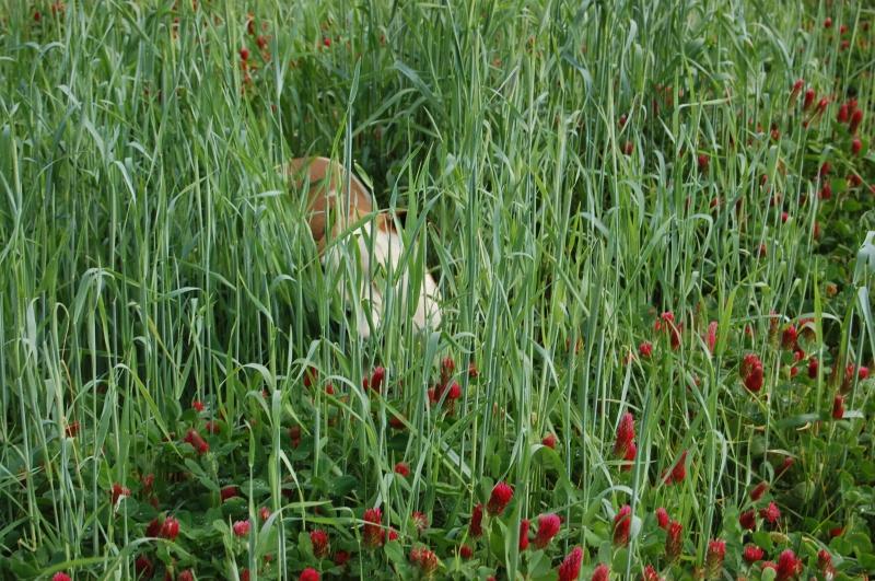 Mr. Bingley, fearsome hunter, enjoying a wallow in the crimson clover.